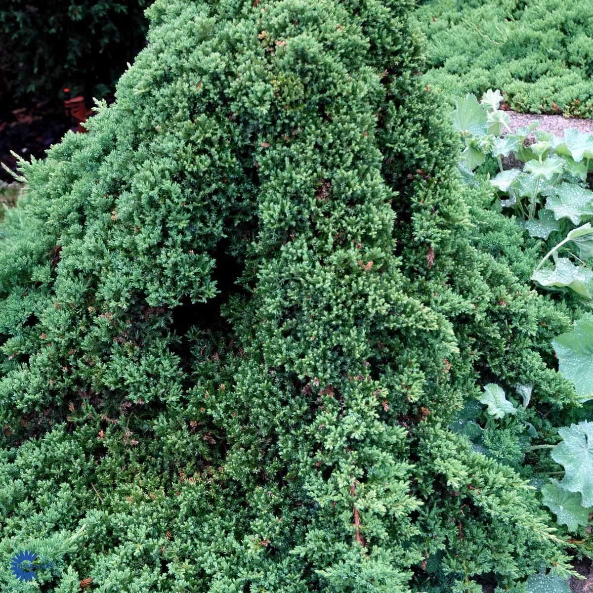 Juniperus Nana