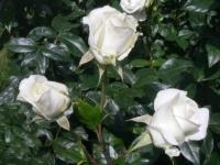 Karen Blixen barrods rose