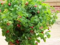 Krukke hindbær Ruby Beauty