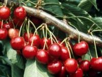 Lapins kirsebær