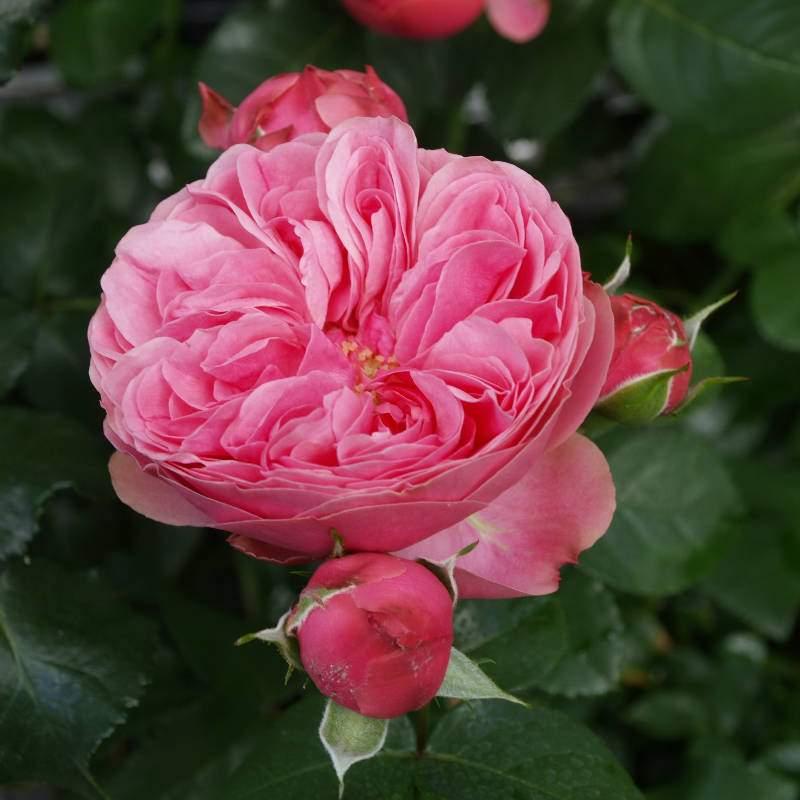 Leonardo da Vinci barrods rose