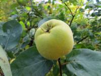 Æblekvæde Lescovac