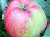 Cox Pomona æble