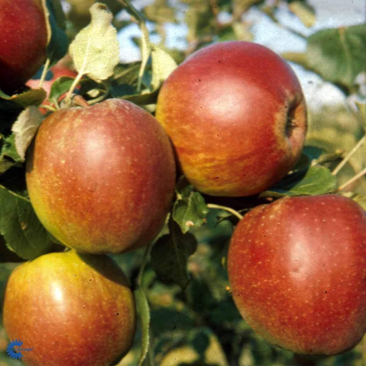 Rød Belle de Boskoop æble