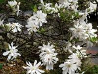 Magnolia Stjernemagnolia