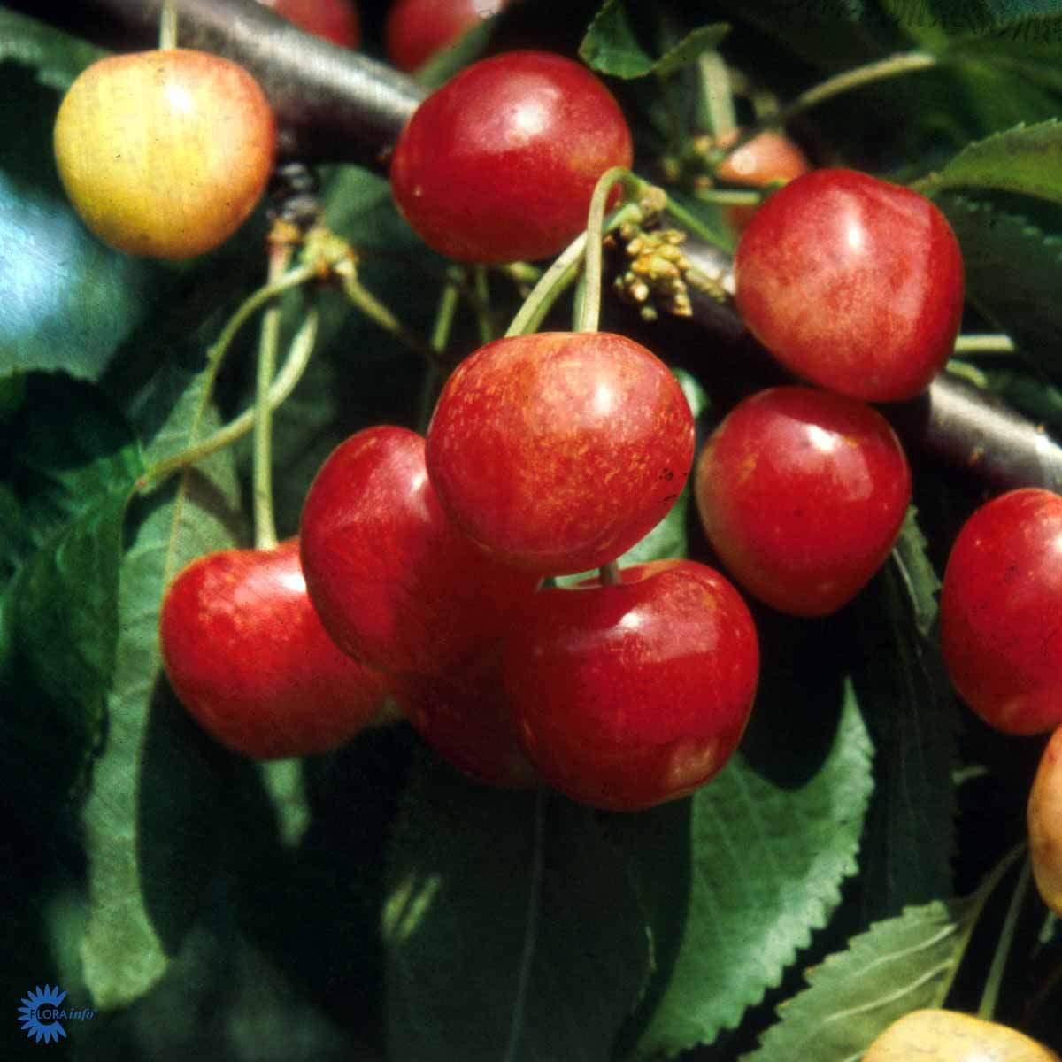Merton glory kirsebær.