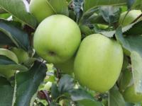 Mutzu æble