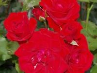 Nina Weibull barrods roser