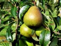 Pernille kallehave pære