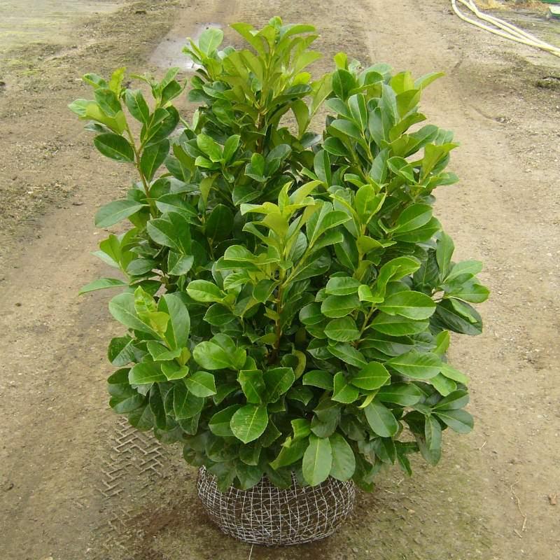 Prunus Kirsebærlaurbær ETNA
