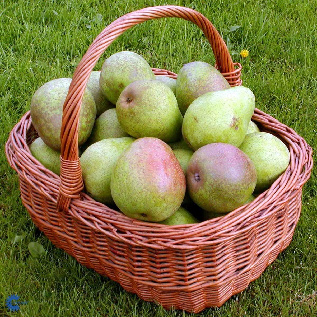 Familie pæretræ