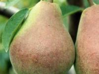 Claps Favourite pære