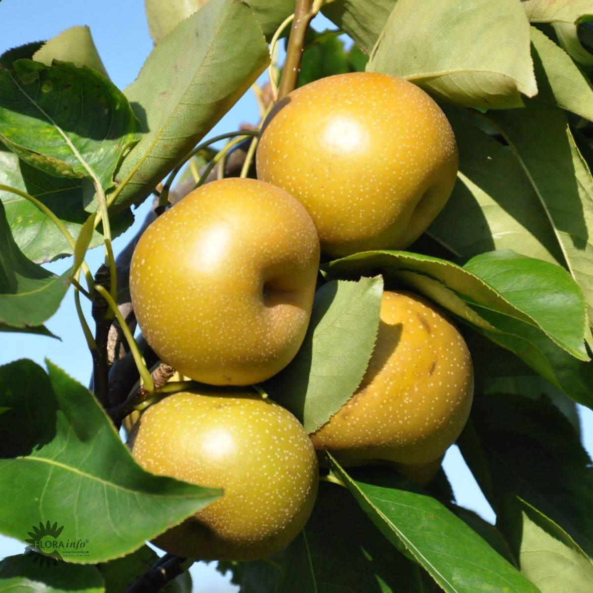 Kumoi asiatisk pære