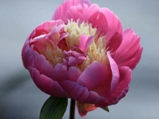 Paeonia Bowl of Beauty