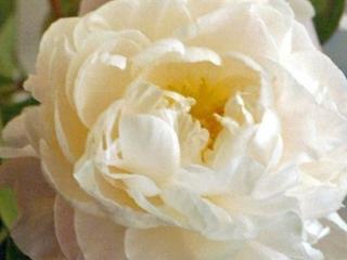 Paeonia Gardenia