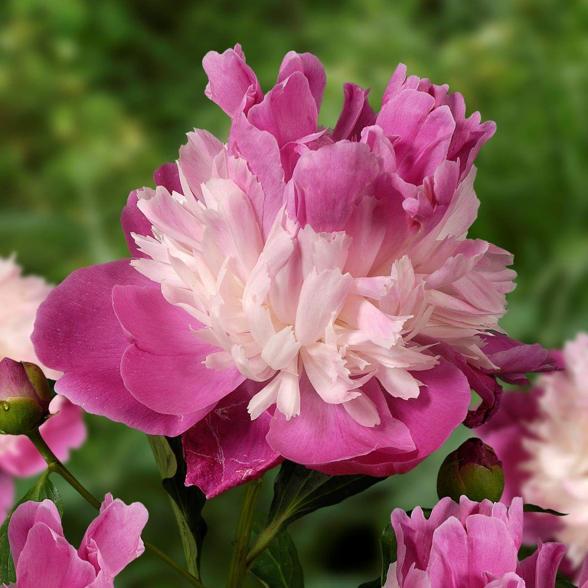 Paeonia Gay Paree
