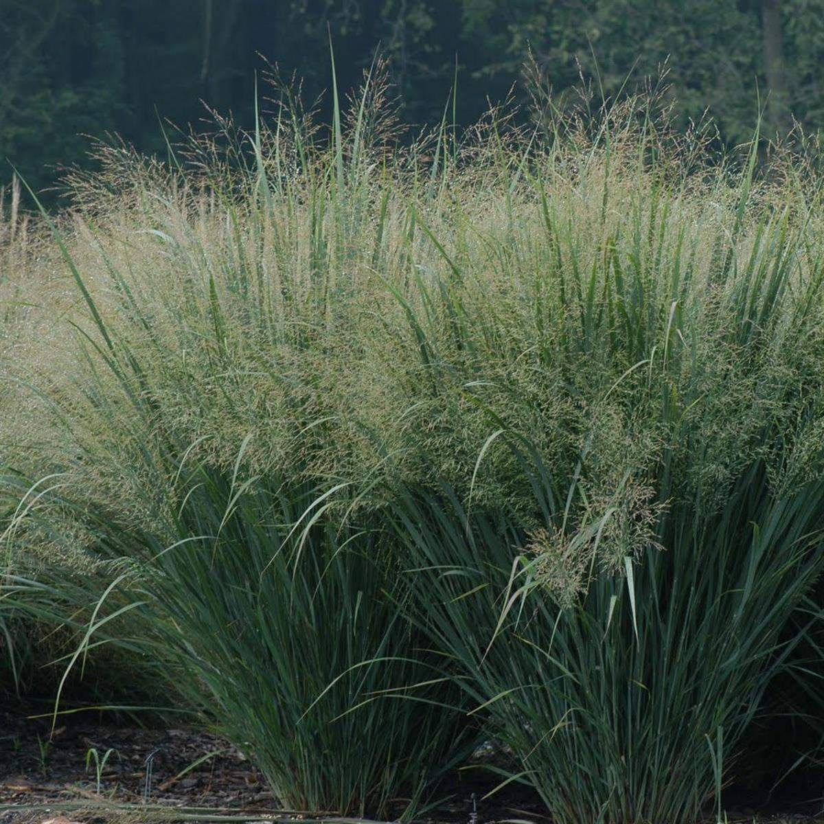 Panicum north wind
