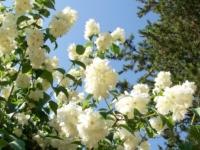 Philadelphus schneesturm barrodsplanter