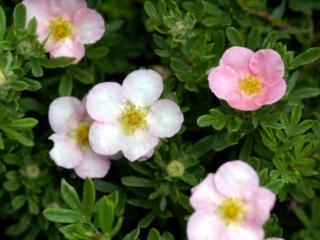 Potentil Lovely Pink