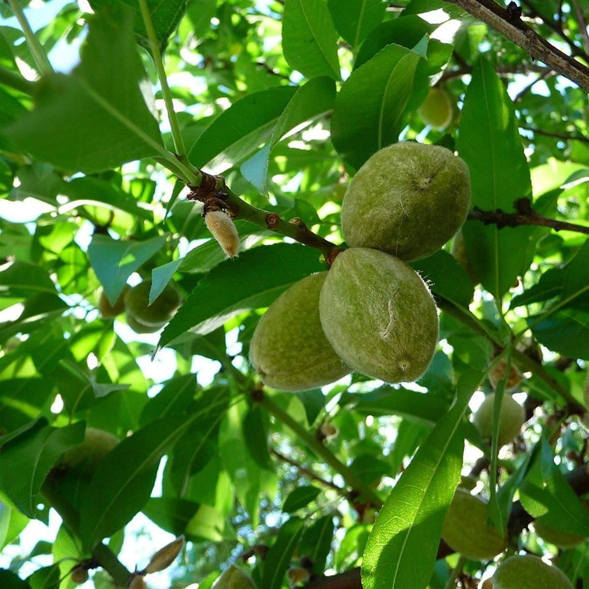 Prunus Ferskenmandel