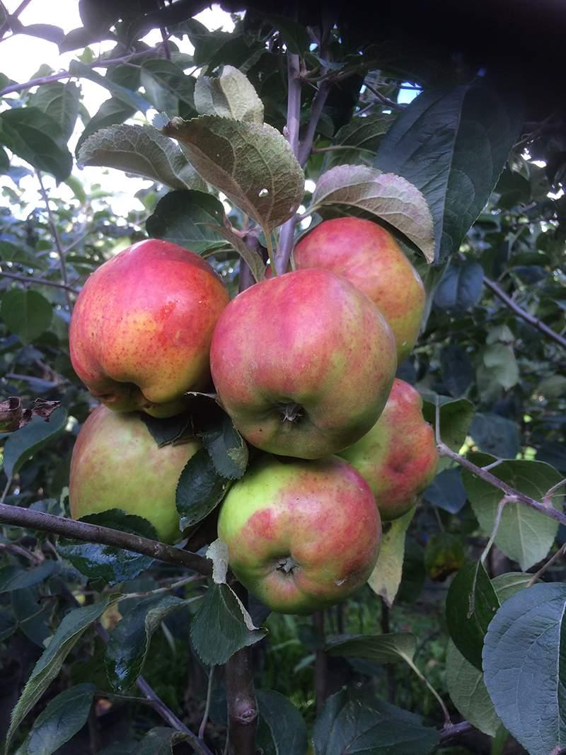 Rød gråsten æble