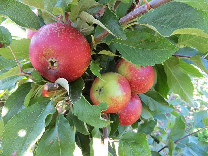 Rød Ingrid Marie æble