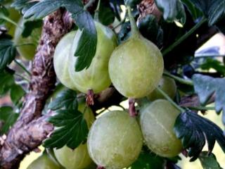 Stikkelsbær 'Gul Hinnonmäki'