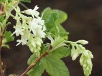 Ribes Elkingtons White