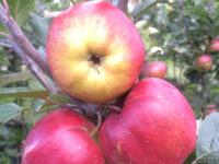 Ritt Bjerregaard æble