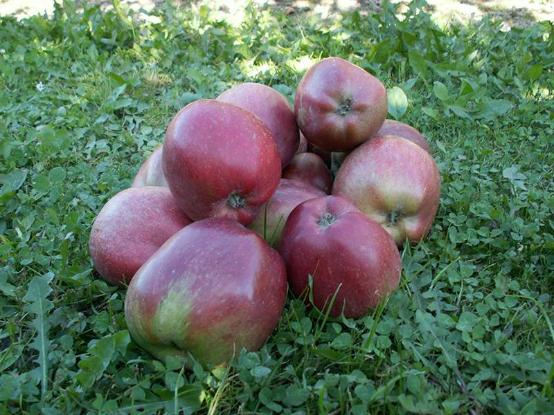 Skovfoged æble