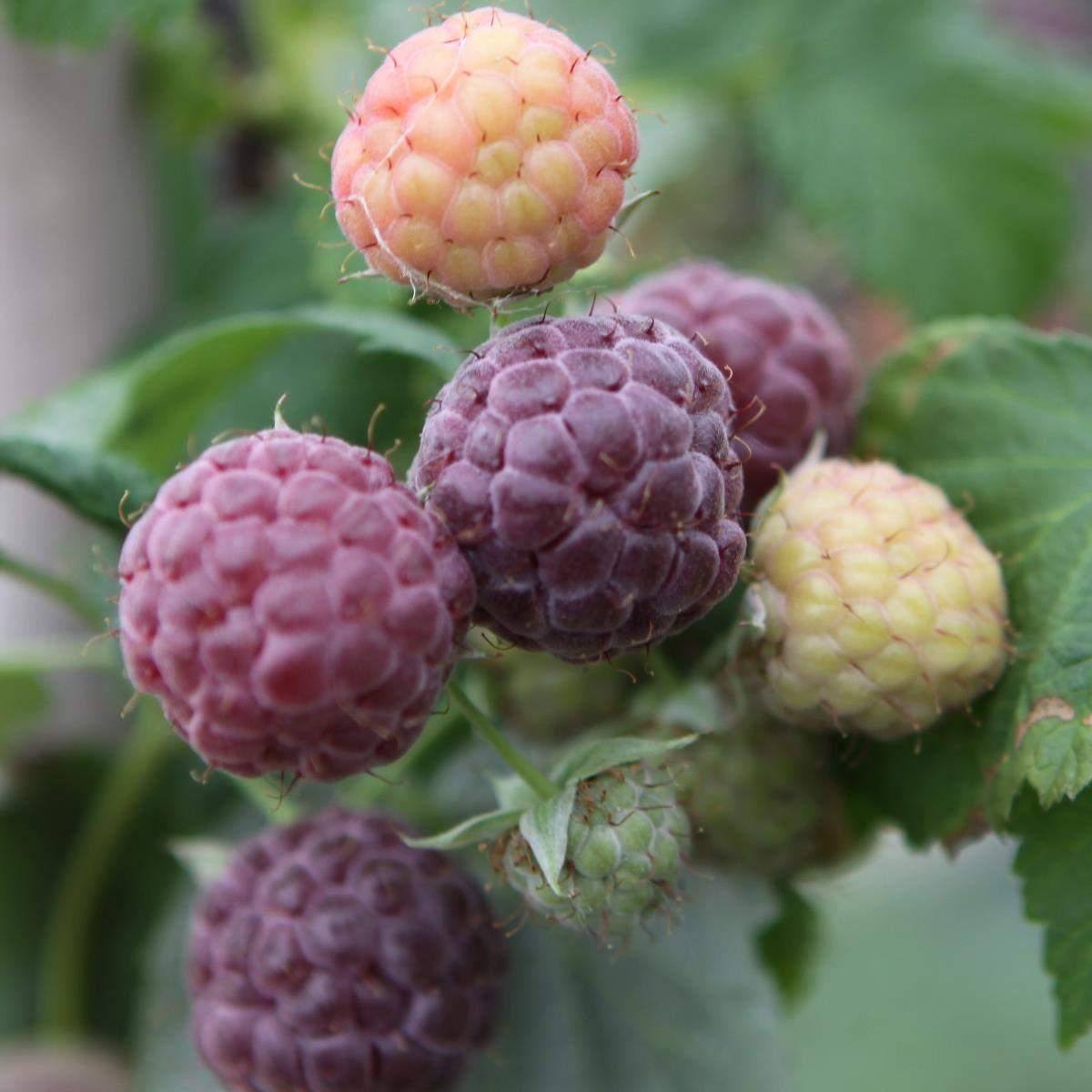Sommer hindbær Glen Coe