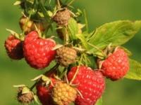 Sommer hindbær Mormors Hallon