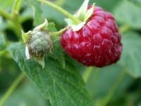 Sommerhindbær Haida