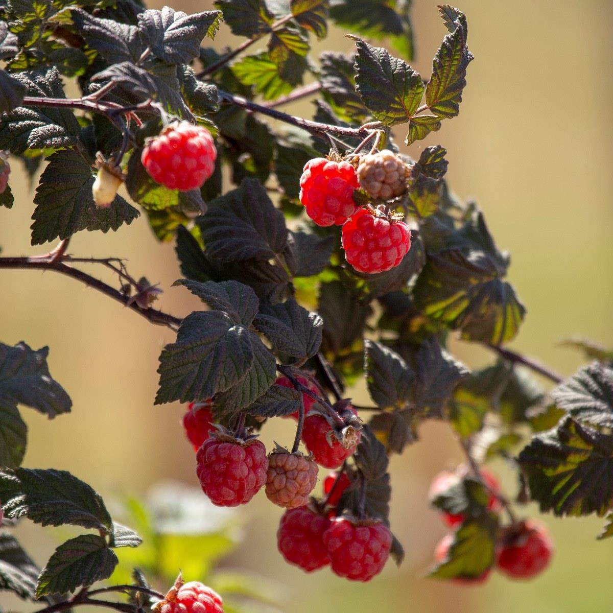 Sommerhindbær Maria