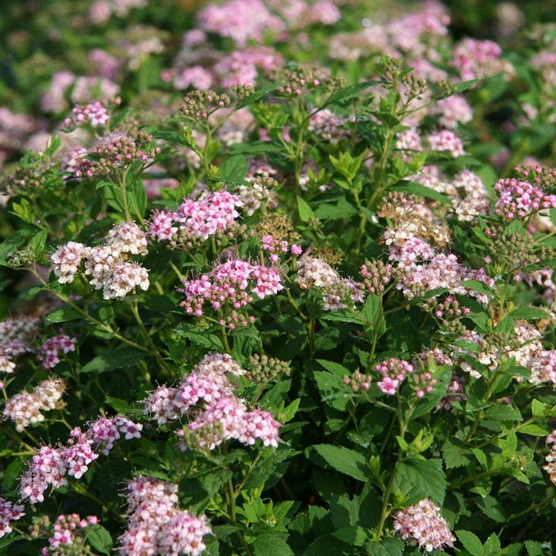 Spirea little princess barrods planter