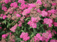 Spirea Anthony Waterer barrodsplanter