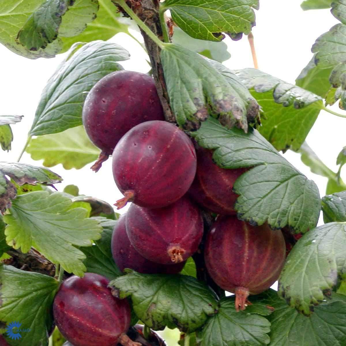 Stikkelsbær Larell