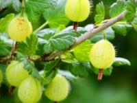 Stikkelsbær Tatjana