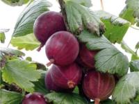 Stikkelsbær 'Rød Hinnonmäki'