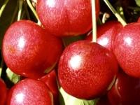 Sunburst kirsebær