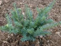 Taxus FARMEN