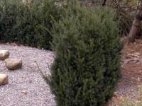 Taxus Hillii