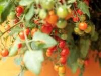 tomat Lizzano