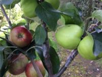 Familie æbletræ med tre sorter