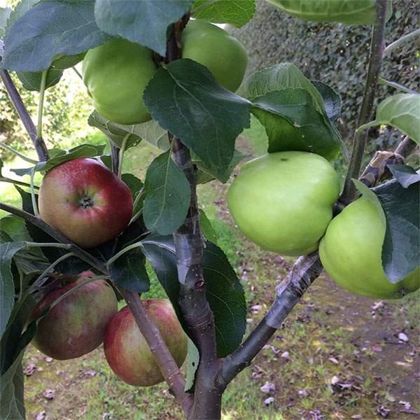 Æbletræ med tre forskellige æbler