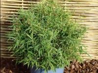 Bambus bimbo