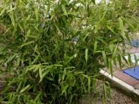 Bambus jumbo