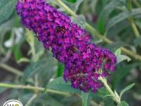 Sommerfugle busk Dark Dynasty