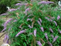 Buddleja Lavender Cascade