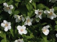 Philadelphus belle etoile barrodsplanter
